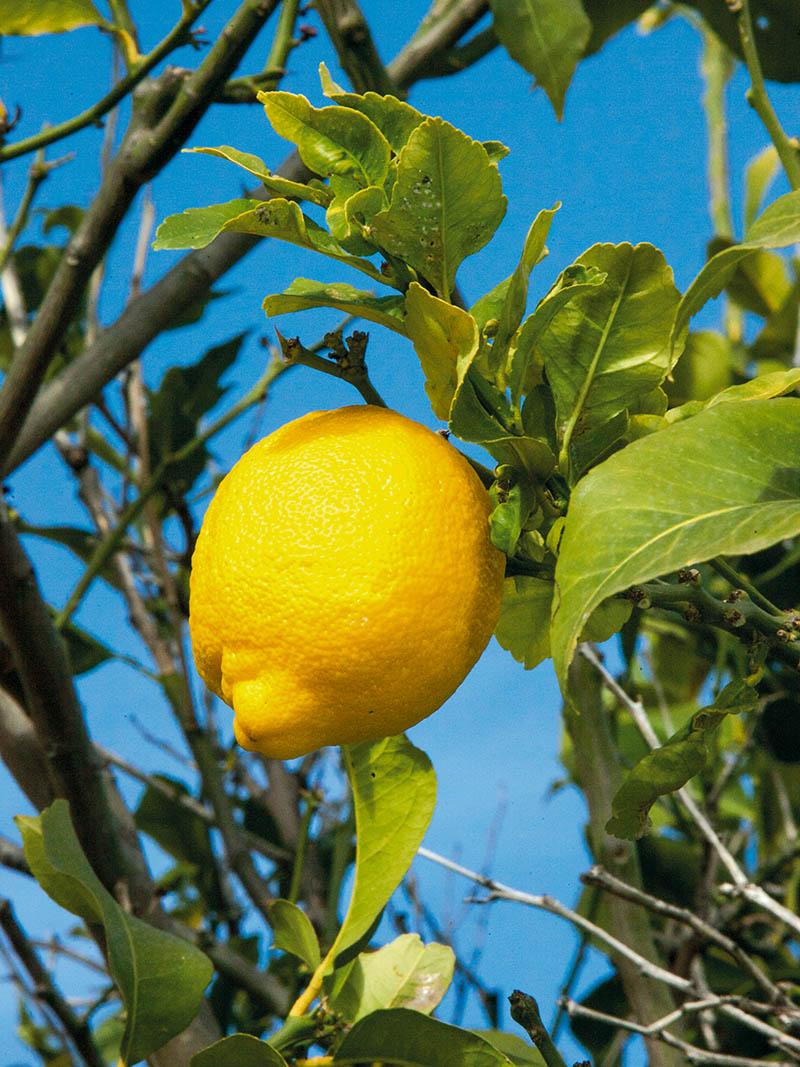 Photographie d'un citron de Menton - Crédit : APCM